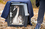 WOLCOTT, CT-122618JS02- A swan sits in a crate as it awaits to be released back into Hitchcock Lake in Wolcott on Wednesday.  The swan was rescued by volunteers after getting frozen in ice on November 24th. <br /> Jim Shannon Republican American