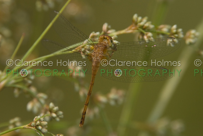 Autumn Meadowhawk (Sympetrum vicinum ) Dragonfly - Teneral Male, Ward Pound Ridge Reservation, Cross River, Westchester County, New York