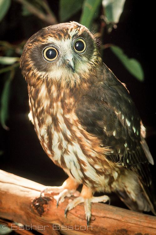 Southern Boobook Owl (Ninox novaeseelandiae). found all over Australia.
