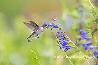 01162-15201 Ruby-throated Hummingbird (Archilochus colubris) at Blue Ensign Salvia (Salvia guaranitica ' Blue Ensign') in Marion County, IL