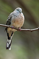 The Peaceful Dove (Geopelia placida) is a pigeon native to Australia and New Guinea. It is closely related to the Zebra Dove of south-east Asia and the Barred Dove of eastern Indonesia.