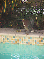 Little Green Heron hunting and resting by the pool