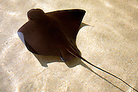 bat ray (c), .Myliobatis californicus, .California (E. Pacific).