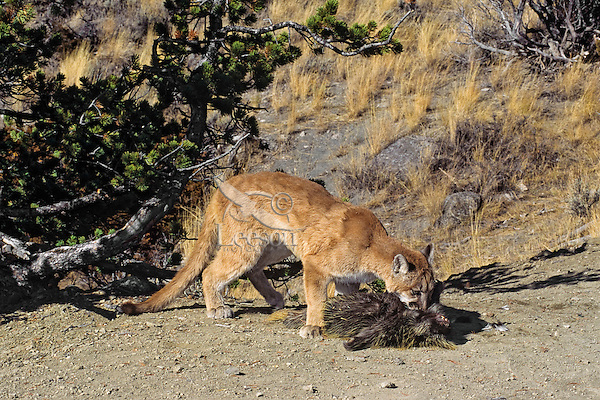 Mountain Lion or cougar (Puma concolor) preying on porcupine (Erethizon dorsatum).  Western U.S.