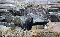This was my best Great Bear Rainforest trip for black bears to date.
