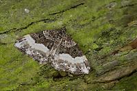 Einzahn-Winkelspanner, Euphyia unangulata, Sharp-angled Carpet, Sharp angled Carpet Moth, Spanner, Geometridae, looper, loopers, geometer moths, geometer moth