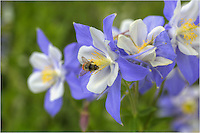 A bumblebee plays on a Columbine in this image of Colorado Wildflowers. Much like Texas Bluebonnets, Columbine bloom in the early summer (bluebonnets in early spring) and can turn areas into treasures of blue and white. This Colorado Wildflower image was taken in Grand County, Colorado.