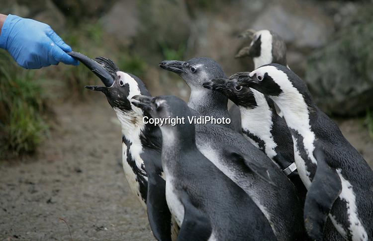 Foto: VidiPhoto..ARNHEM - Een verzorger van Burgers' Zoo in Arnhem voert de Zuid-Afrikaanse zwartvoet pinguins donderdag met de hand. Zo wordt er voor gezorgd dat iedere pinguin evenveel vis binnenkrijgt en reigers en kraaien het voedsel niet wegkapen. Bovendien kan de conditie van de dieren zo beter in de gaten worden gehouden.