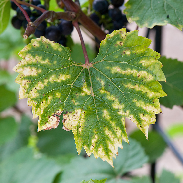 Magnesium deficiency in grape vines can show as a gradual yellowing of the margins of the leaves, caused by a reduction in the plant's ability to produce green chlorophyll.