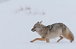 A coyote runs through snow after scavenging on an elk killed by wolves in Yellowstone National Park, Wyoming, USA, January 6, 2009. Photo by Gus Curtis
