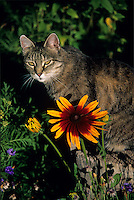 A cat and a Gloriosa Daisy, Rudbeckia hirta, pose momentarily for a portrait in the morning sun