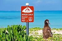 birds, Laysan albatross, Phoebastria immutabilis, chick, sign says Birds only Beyond this Sign, Midway Atoll, Papahanaumokuakea Marine National Monumen, Northwestern Hawaiian Islands, Hawaii, Pacific Ocean