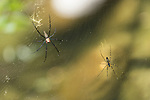 Mossman Gorge, Queensland, Australia; large orb-weaver spiders in their webs near the river bank