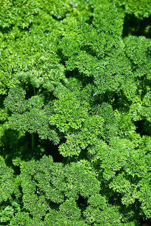 Parsley 'Lisette', early July.