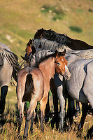Wild horse colt, Badlands, North Dakota.(Equus caballus)