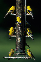 01640-07214 American Goldfinches (Carduelis tristis) males and females on thistle feeder, Marion Co.  IL