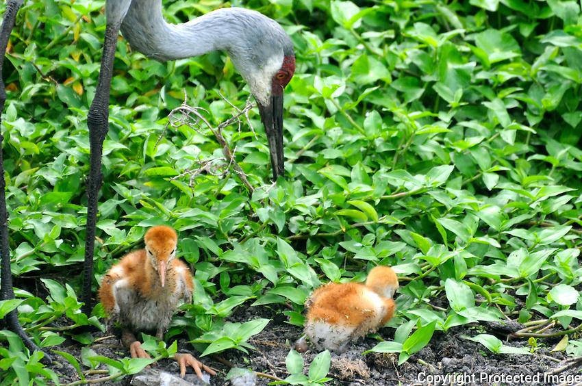 Sandhill Crane & Chicks photographed at Wellington Peaceful Waters Sanctuary, Wellington, Florida.