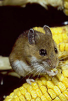 MU54-022z  White-Footed Mouse - eating corn -  Peromyscus leucopus