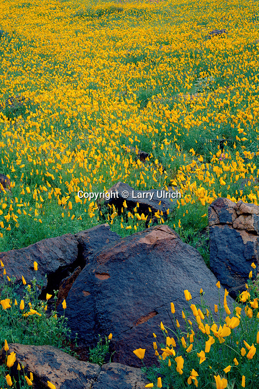 Mexican goldpoppy<br />