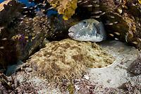 tasselled Wobbegong, Eucrossorhinus dasypogon, starry puffer fish, Arothron stellatus and glass fish under a coral, Raja Ampat, West Papua, Indonesia, Indo-Pacific Ocean