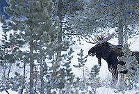 Moose are commonly seen in Yellowstone's northeast corner.