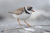 Adult female Semipalmated Plover (Charadrius semipalmatus) on river ice. Seward Peninsula, Alaska. May.