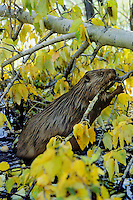 American Beaver (Castor canadensis) cutting off aspen tree branch.  It will carry  the branch back near lodge and place it in food storage cache for winter.