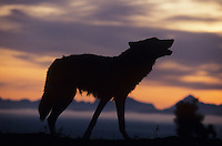 Gray Wolf (Canis lupus), adult howling at sunset, captive, USA