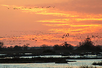 The Sandhill Crane Migration in March along the Platte River near Kearney Nebraska, at the Rowe Audubon Sanctuary.