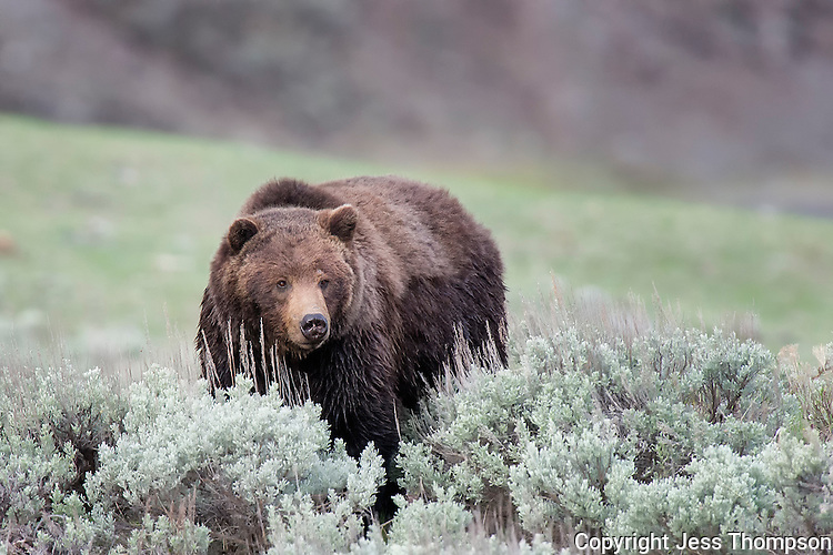 Grizzly Bear, Hitching Post Pullout, Yellowstone National Park