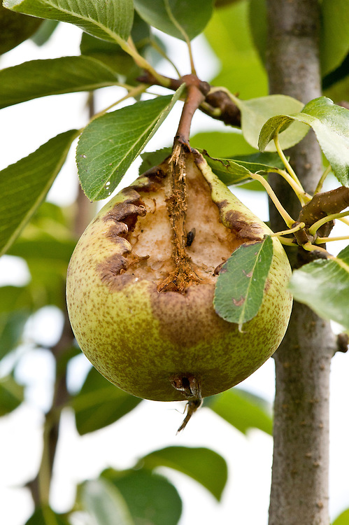 A ragged hole in a pear where birds, wasps and flies have been feeding on the ripe fruit, particularly likely if the skin has already been holed or damaged.