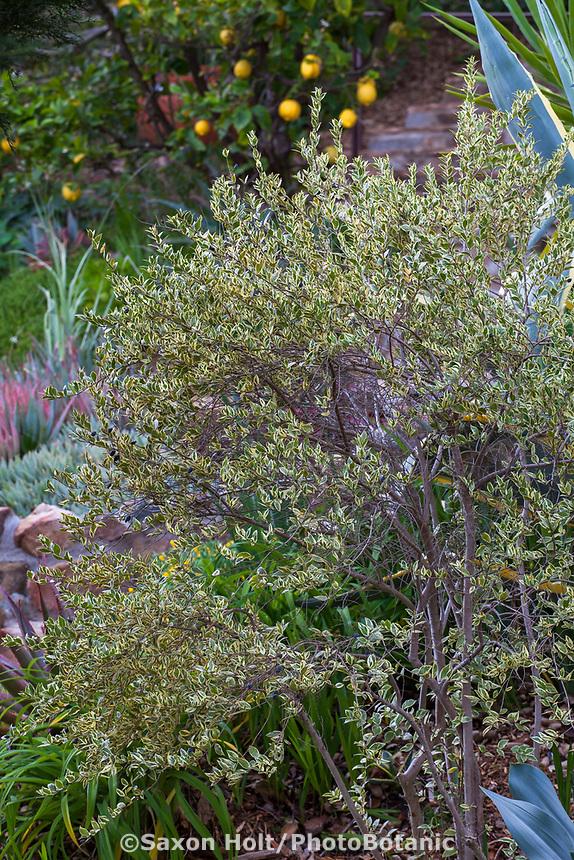 Rhamnus alaternus 'Variegata', variegated Italian Buckthorn shrub in Debra Lee Baldwin garden