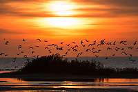 Sea birds in siloutte at sunset at South Padre Island on the bay as the flock are getting ready to roast  along the shore. Love the color golden colors right before sunset.