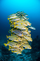 Mixed school of Diagonal-Banded Sweetlips, Plectorhinchus lineatus, and Ribbon Sweetlips, Plectorhinchus polytaenia, Raja Ampat,  West Papua, Indonesia, Indian Ocean