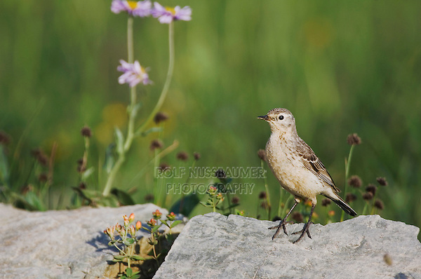 American Pipit, Anthus rubescens, adult perched, Logan Pass, Glacier National Park, Montana, USA