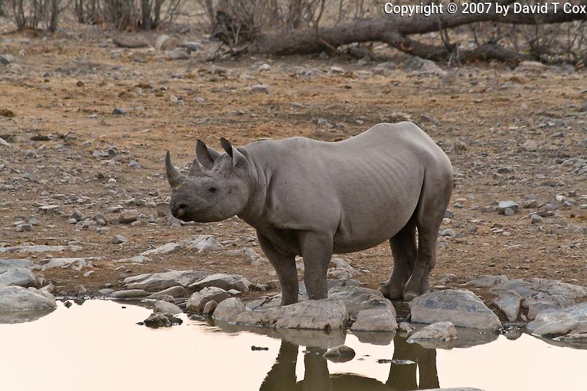 Black Rhino at Halali Waterhole, Etosha, Namibia