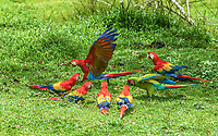 flock of six scarlet macaws, Ara macao, and a lone great green macaw, Ara ambiguus, on the ground in a farmer's pasture, Alajuela Province, Costa Rica, Central America