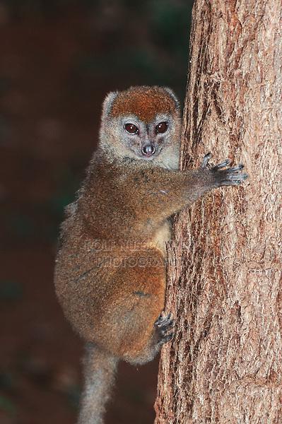 Lesser Bamboo Lemur (Hapalemur griseus). , Madagascar, Africa