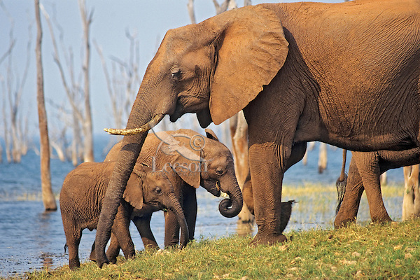 African Elephants (Loxodonta africana)--mother with young along shore of Lake Kariba, Zimbabwe
