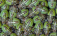 Berkenwants (Elasmucha grisea) larven