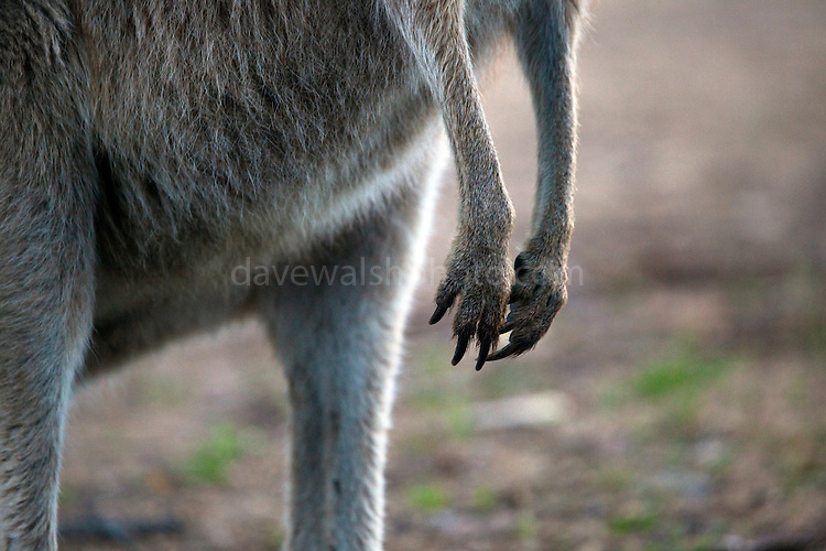 Detail of front legs and paws of Eastern Grey Kangaroo, at Tom Groggins, Mount Kosciuszko National Park