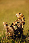 Cheetah and cub, Masai Mara National Reserve, Kenya