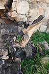 Samaria, the remains of the Terebinth tree by the tomb of Nabi Uzeir in Awarta