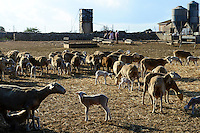 SPAIN Mallorca, Es Llombards, sheep breeding / SPANIEN Mallorca, Es Llombards, Schafhaltung