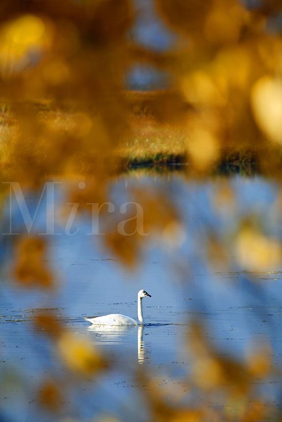 Swan, Summit Lake, Kenai Peninsula, Alaska.