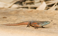 Four-fingered skink, Carlia sp., from the Meleotegi River area,  Ermera district of Timor-Leste (East Timor).