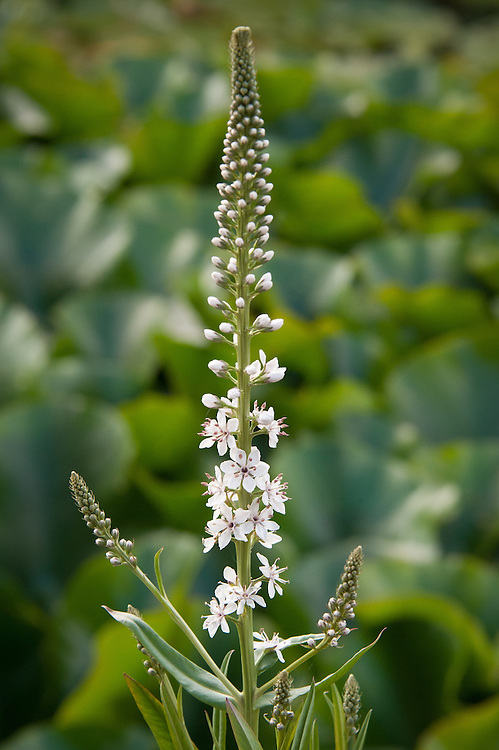 Lysimachia ephemerum, mid July. Commonly known as Willow-leaved loosestrife.
