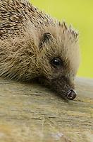 A Captive Hedgehog {Erinaceus europaeus} at the British Wildlife Centre Portrait