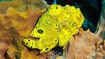 Longlure frogfish, Antennarius multiocellatus, Dominica