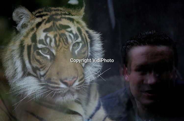 Foto: VidiPhoto..ARNHEM - In Burgers' Zoo in Arnhem hebben de Sumatraanse tijgers woensdag een warmtegrot in gebruikt genomen. De dieren kunnen als het buiten koud is nu een speciaal verwarmde ruimte in, terwijl ze toch zichtbaar blijven voor het publiek. De grot heeft vloerverwarming en verwarmd glas, zodat de ramen niet beslaan.